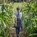 Walking through corn