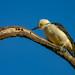 White Woodpecker - Brazilian Birds - Species # 252 by Bertrando©