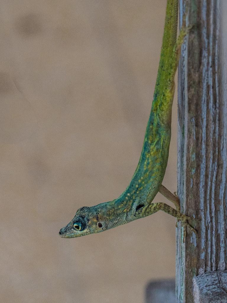 Le reptile gymnaste... 43484458895_4cec5f2286_b