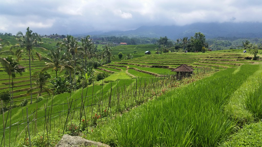 Jatiluwih tarasy ryżowe Bali