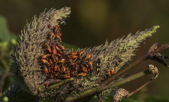 Large Milkweed Bugs On Milkweed Pod