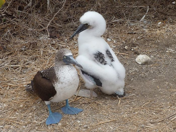 Blue-footed Booby and baby