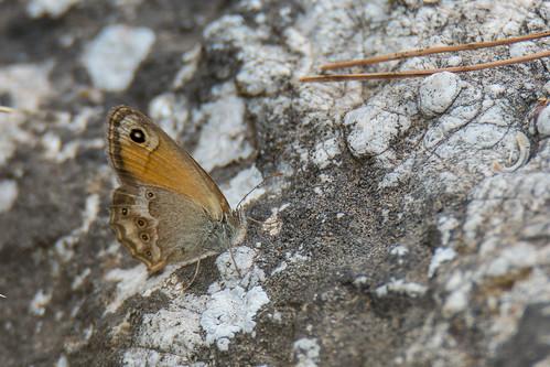 Dusky heath - Coenonympha dorus - Bleek hooibeestje