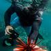 Pencil Slate Sea Urchin by brodrock