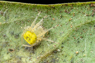 Big-jawed spider (Tetragnathidae) - DSC_1406