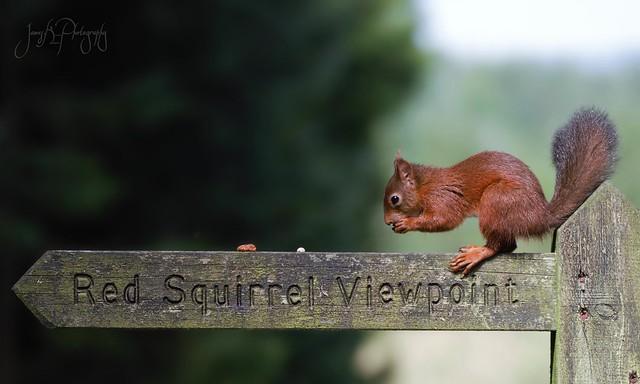 Red Squirrel. (Explored)