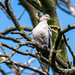 RSPB Rainham Marsh-Collared Dove
