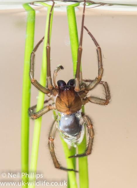 Water spider-2