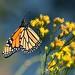 Danaus plexippus (Monarch) by birdgal5