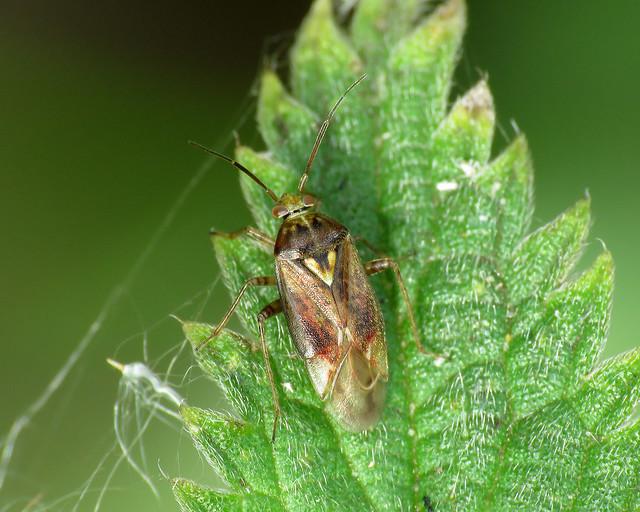 Tarnished Plant Bug - Lygus rugulipennis