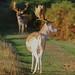Fallow Deer Dama dama Buck 002-1