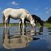 IMG_8452 - New Forest Ponies - Hatchet Pond - 01.09.18