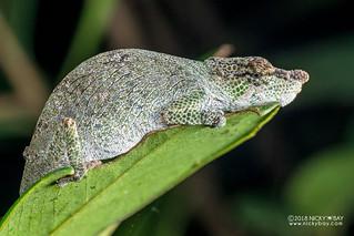Nose-horned chameleon (Calumma nasutum) - DSC_1099