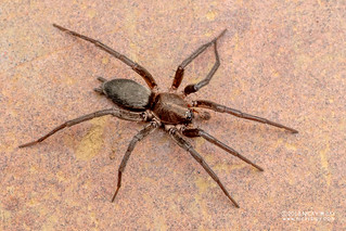 Flat-bellied spider (Gnaphosidae) - DSC_2114