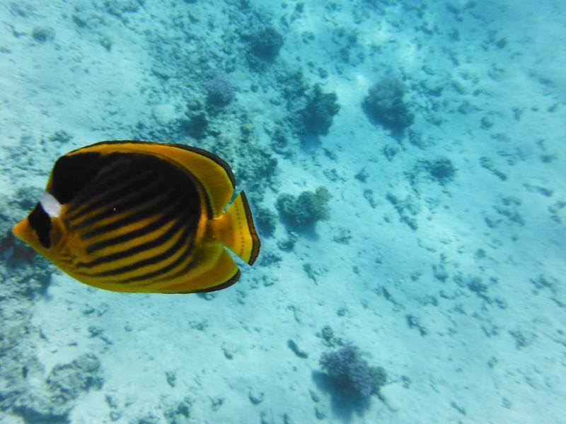 Полосатая рыба-бабочка (Chaetodon fasciatus)DSCF5024