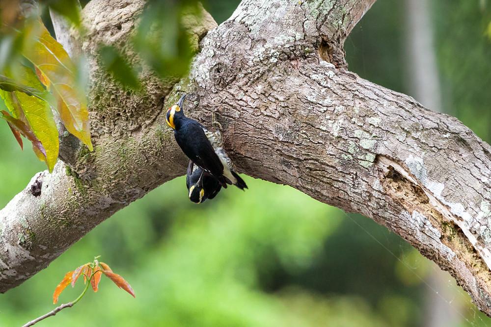 Златобровый дятел (Melanerpes cruentatus)