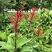 Firespike in garden of the UF/IFAS Plant Science Research and Education Unit in Citra