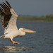 Great White Pelican --- Pelecanus onocrotalus by creaturesnapper