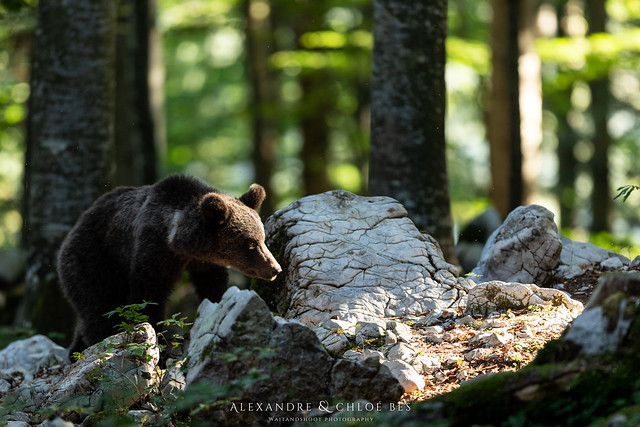 Brown Bear from Slovenia, Canon EOS 5D MARK IV, Canon EF 300mm f/2.8L IS