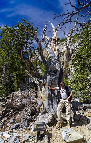 Luis Monje - Matusalén (Pinus longaeva) - Copyright Luis Monje
