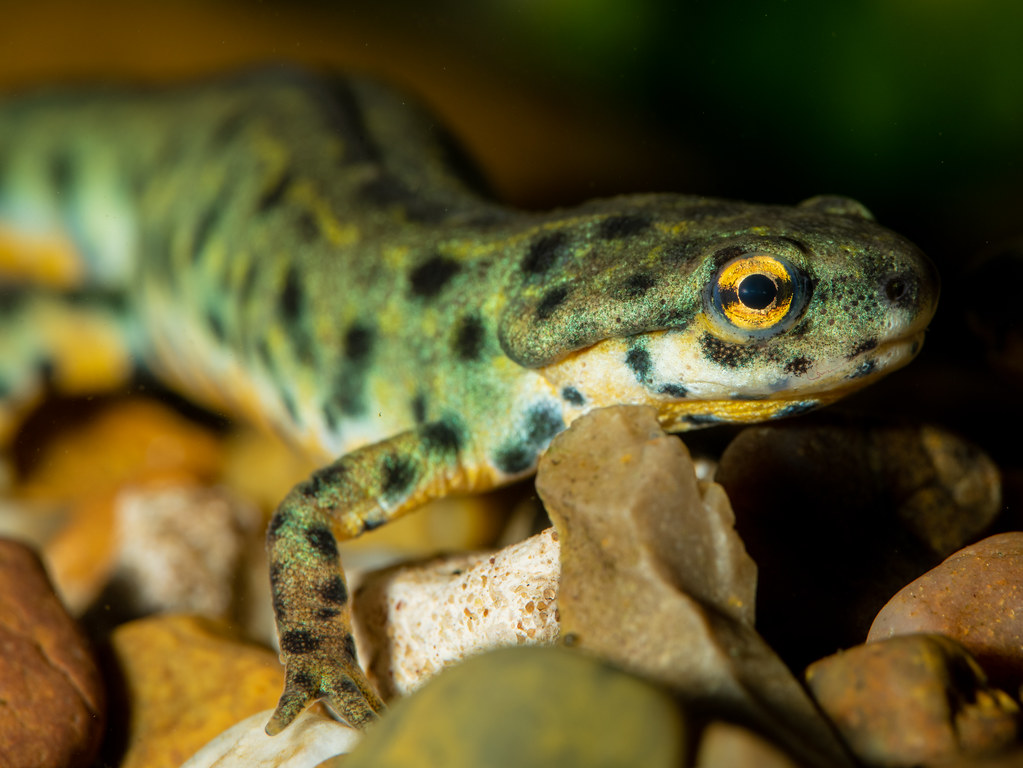 Black Spotted Newt_2