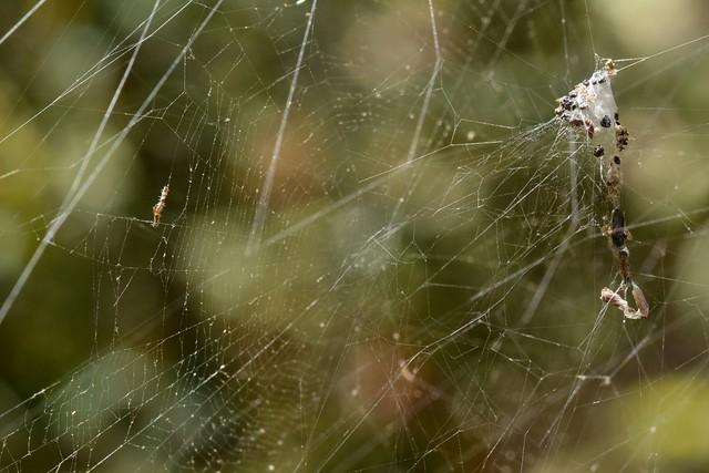 Composite web of a Labyrinth Spider (genus Metepeira, Araneidae)