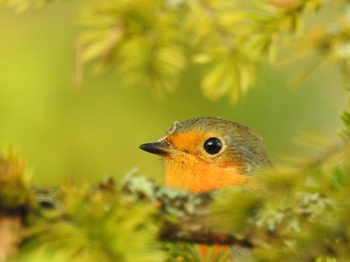 robin erithacusrubecula rotkelchen punarind bird p900 nikoncoolpixp900