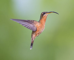 Rufous Breasted Hummingbird
