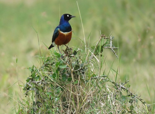 superb starling_mascot Lolldaiga