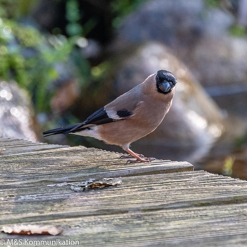Dompfaff aufgenommen im heimischen Garten - Bullfinch photographed in the home garden
