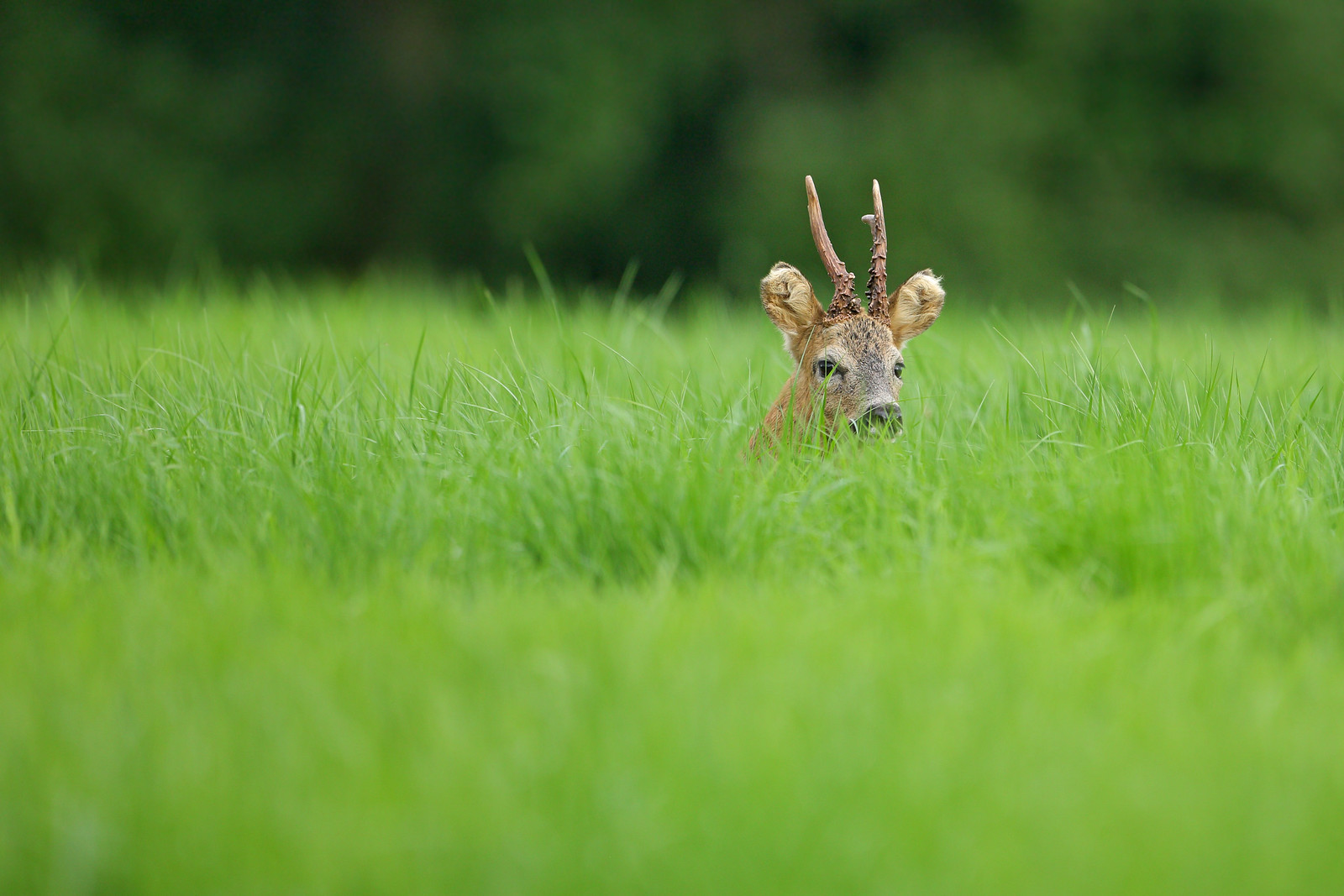 Roe Buck Lying Low