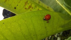 Multicolored Asian Lady Beetle (Harmonia axyridis), Wayside Drive at Gertrude Dr., North Beach Quad, Calvert County, MD, 2018_0907