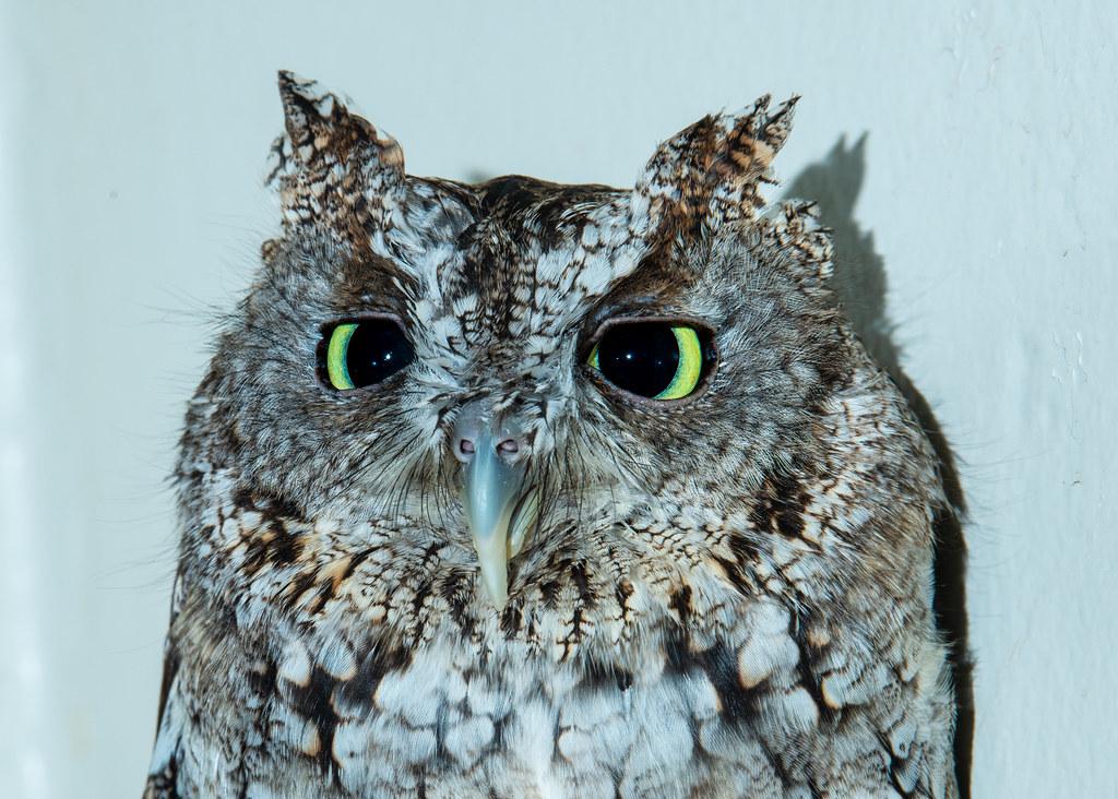 Screech Owl_8