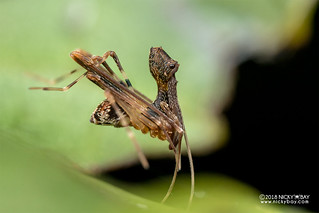 Assassin spider / Pelican spider (Eriauchenius sp.) - DSC_8700