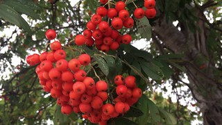Rowan - fruit - September 2018