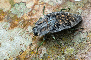 Jewel beetle (Polybothris sp.) - DSC_2655