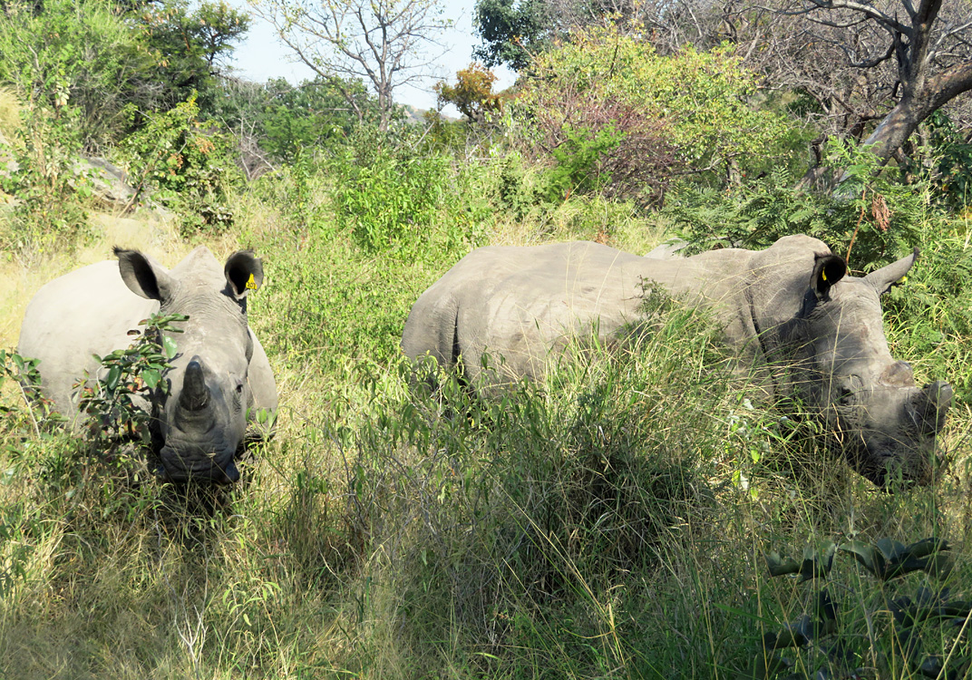 white-rhinos-eating