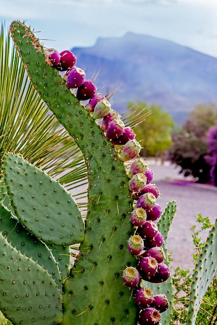 Cactus-15-7D1-082518