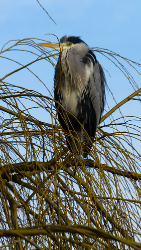 Alert heron in willow tree\