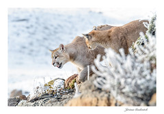Puma - Cougar - Puma concolor