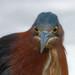 Green heron stare 2
