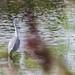 Grey Heron at RSPB Old Moor