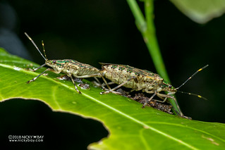 Stink bugs (Pentatomidae) - DSC_0161
