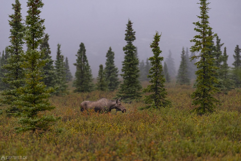 Moose in the forest - Alaska