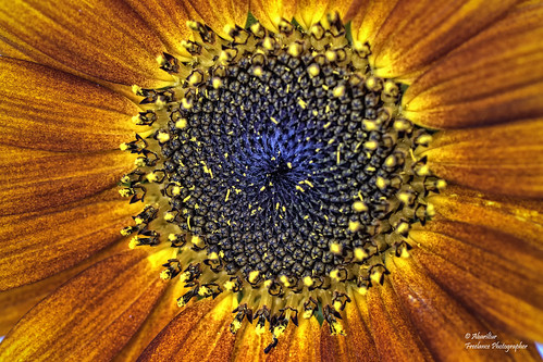 Sunflower Core (Helianthus) (Explore Sep 10, 2018 #380)