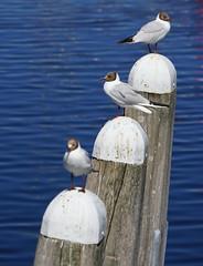 Sea Gulls at Veere (2)