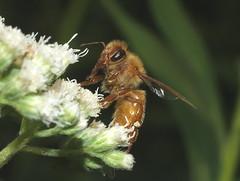 Very Orange Honey Bee DSCF8779