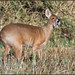 Chinese Water Deer (image 1 of 2) by Full Moon Images