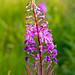 Great Balls of Fireweed