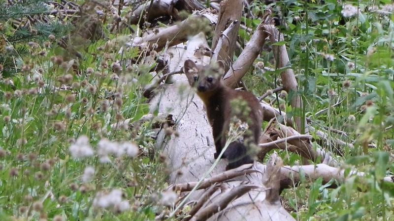 I saw an American Marten as I was hiking and was able to take this shot before it bounded away